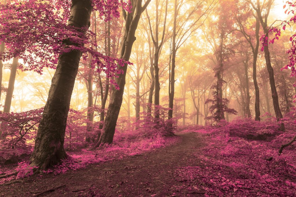 Dreamy woods, the forest floor strewn with magenta leaves