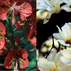 Red fireweed on the left, white magnolias on the right